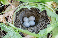 Dark-eyed Junco Nest with Eggs.