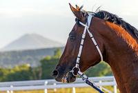 Portrait of the red arab stallion.