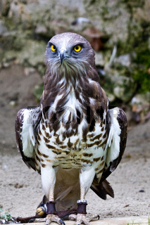 Short-toed snake eagle, circaetus gallicus also known as short-toed eagle