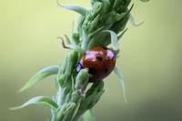 The Ladybird sits on a colored leaf. Macro photo of ladybug close-up.