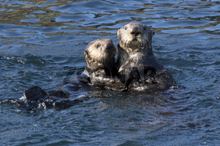 female and young sea otter floating in the waters off the island in the Pacific Ocean a spring day