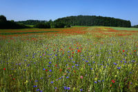 Landscape on the Swabian Alb with corn rose and cornflower meadow