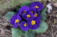 Blooming blue flower primula