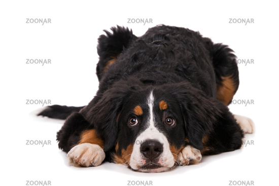 Young bernese mountain dog isolated on white background