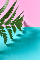 A leaf of fresh fern on a pink-blue double background with space for text and reflection of shadows. Foliage background