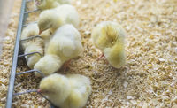 small group of chickens eating corn and grain in a chick farm