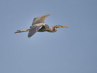 Purple Heron, Ardea purpurea, in hungary, europe