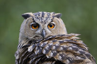 Eurasian Eagle Owl * Bubo bubo *, portrait, head shot