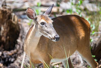 white tail deer wandering around thick forest near water