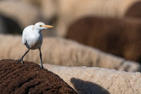 Cattle egret Algarve riding on a sheep