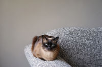 siamese cat resting on couch armrest in living room