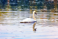 The lonely white swan swims