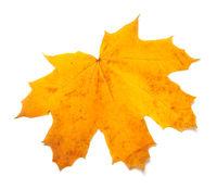 Autumn yellow maple leaf isolated