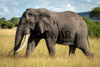 African bush elephant walks through long grass
