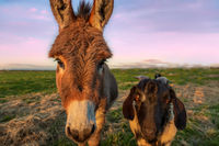 A Color Portrait of a Donkey and Goat at Sunset, California, USA