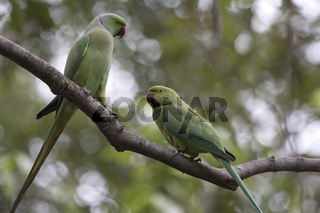 male and female rose-ringed parakeet who perform marriage dances near hollows in a tree