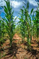 corn farm field on a sunny day