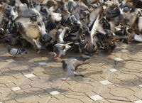 Chaotic floc of pigeons