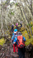 Mount Kilimanjaro / Tanzania: 4 January 2016: embers of group expedition to Mount Kilimanjaro hike through the high alpine forest on the Umbwe Route to their advanced base camp