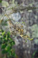 190530-31 Raupen Pfaffenhütchen Gespinnstmotte Spindle ermine Yponomeuta cagnagella.jpg