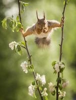 red squirrel in split between apple flower branches