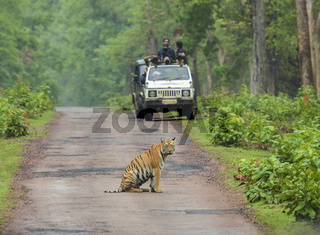 TADOBA, MAHARASHTRA, INDIA, June 2013, Tourist in Jeep watching tiger sitting on road