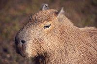 Capybara, Hydrochoerus hydrochaeris