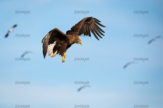 Adult white-tailed eagle flying against blue skies at sunset looking down
