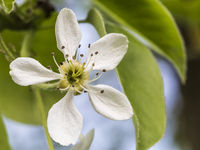 white pearblossom in the springtime