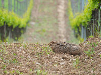 Hare in a vineyard