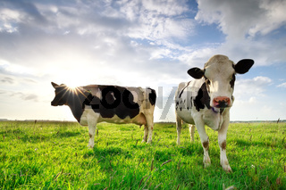 sunshine over cows on green summer pasture