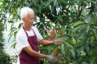Farmer examining mango tree