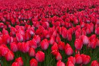 Feld mit Tulpen der Sorte Lady van Eijk