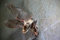 Daubentonis Bats