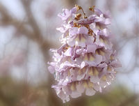 Bluebell tree (Paulownia tomentosa, Syn.: Paulownia imperialis), flower