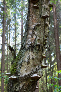 Polypore decaying birch tree trunk
