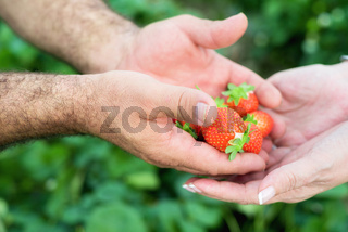 Farmer hands and woman hands holding handful of ripe strawberries, farm field in background.