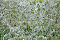 ermine moths (Yponomeutidae) on Bush