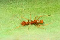 Ant mimic spider, Myrmarachne sp, Pune, Maharashtra, India