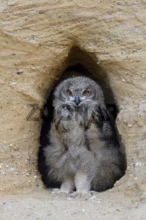 im Eingang seiner Bruthöhle... Europäischer Uhu * Bubo bubo *