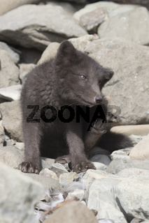 Puppy Commanders blue arctic fox that scratches itself behind the ear near the entrance to the hole
