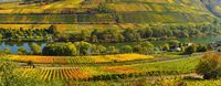 colored vineyards on the moselle