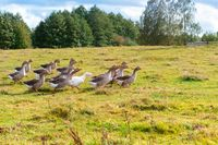 gray geese running across the meadow, a flock of domestic geese