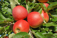 Red Apples 5