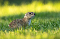 European ground squirrel with head held up watching around early in the morning