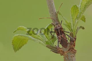 Amerikanische Zapfenwanze (Leptoglossus occidentalis)