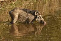 Indian boar, Sus scrofa cristatus, Bandhavgarh Madhya Pradesh, India