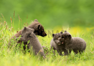 Adult Arctic fox with 3 little playful cubs