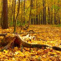 Old stub in autumn park