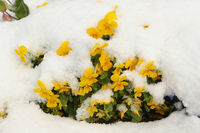 Yellow viola flowers under the fresh snow